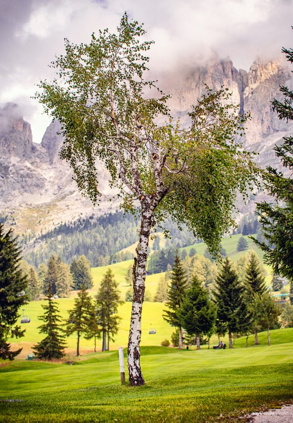 Eine Birke in den Dolomiten