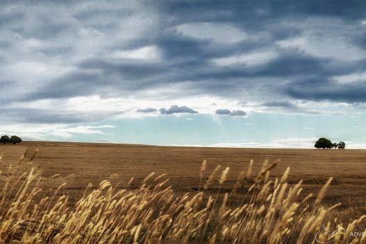 Yellow fields of Australia